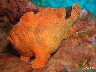 Giant frogfish - Antennarius commerson (commersonii) - Riesen Anglerfisch