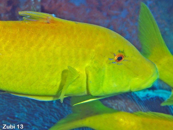 Yellowsaddle Goatfish - Parupeneus cyclostomus - Zitronen Meerbarbe
