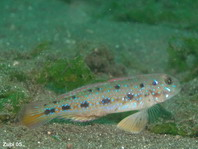 Canine Goby - Oplopomus caninoides - Hunds-Grundel