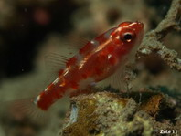 Red-Spotted Dwarfgoby - Trimma rubromaculatus - Riffgrundel