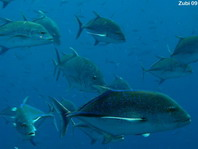 Mackerels in deep water - Caranx - Makrelen in der Tiefe
