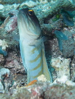Goldspecs (Yellowbarred) Jawfish - Opistognathus randalli - Goldstaub- Kieferfisch