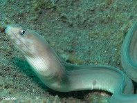 White-Margin Moray Eel - Gymnothorax albimarginatus - Muräne
