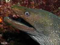Speckled Moray Eel - Gymnothorax dovii - Getüpfelte Muräne