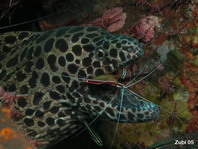 Honeycomb Moray Eel - <em>Gymnothorax favagineus</em> - Grosse Netzmur&auml;ne