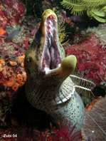 Fimbrated Moray Eel - Gymnothorax fimbriatus - Gelbkopf-Muräne