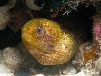 Yellow-Margined Moray Eel- Gymnothorax flavimarginatus - Russkopf-Muräne