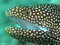 Whitemouth Moray Eel - <em>Gymnothorax meleagris</em> - Perlen-Mur&auml;ne