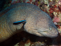 Yellowmouth Moray Eel - Gymnothorax nudivomer - Gelbmaul Netzmuräne