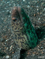 Reticulated Moray Eel - Gymnothorax richardsoni - Richardson-Muräne