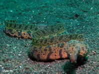 Undulated Moray Eel - Gymnothorax undulatus - Marmor Muräne