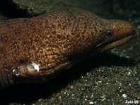 Barred-fin Moray Eel - Gymnothorax zonipectis - Weissfleck-Muräne