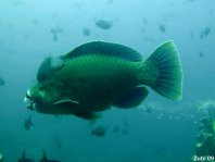 Bumphead Parrotfish - Scarus perrico - Perrico Papageifisch