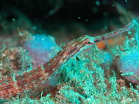 Orange-Spotted Pipefish - Corythoichthys ocellatus - Kriechende Seenadel