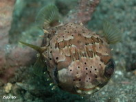Freckled Porcupinefish (Spiny Porcupinefish, Ballonfish) - Diodon holocanthus - Langstachel-Igelfisch