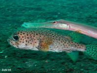 Black-spotted Porcupinefish with Trumpetfish - Diodon hystrix and <em>Aulostomus chinensis</em> - Gepunkteter Igelfisch mit Trompetenfisch