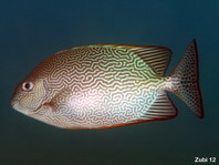 Vermiculate Rabbitfish - Siganus vermiculatus - Labyrinth-Kaninchenfisch