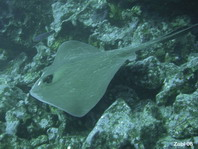 Whiptail or Diamond Stingray - Dasyatis brevis - Diamant Stechrochen