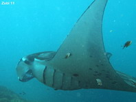 Giant Manta Ray detai of the gills - <em>Manta alfredi</em> - Manta Rochen, Detail der Kiemen