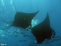 Giant Manta Ray on the surface - <em>Manta alfredi</em> - Manta Rochen an der Oberfläche