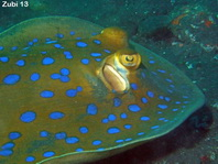 Bluespotted Ribbontail Ray - Taeniura lymna - Blaupunktrochen