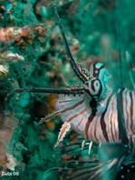 Interesting bulblike protuberanceabove the eye - <em>Pterois volitans</em> - interessanter blasenf&ouml;rmiger Auswuchs &uuml;ber dem Auge