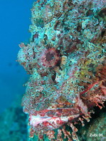 Pacific spotted scorpionfish - Scorpaena (plumieri) mystes - Pazifik Skorpionfisch