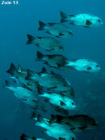 Black-and-White Snapper (Black Snapper) - <em>Macolor niger</em> - Schwarzer Schnapper