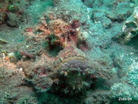 Estuarine Stonefish - <em>Synanceia horrida</em> - Warzen Steinfisch