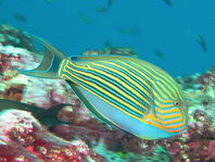 go to the surgeonfishes - zu den Doktorfischen