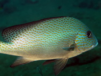 Painted Sweetlips (Slatey Sweetlips) - <em>Diagramma pictum</em> - Silber S&uuml;sslippe