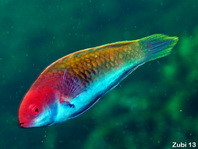 Solor Wrasse (initial phase) - Cirrhilabrus solorensis - Solor Zwerglippfisch (Anfangsphase)