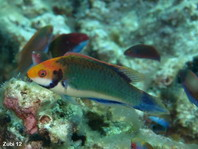Solor Wrasse (nuptial phase) - Cirrhilabrus solorensis - Solor Zwerglippfisch (Endphase)