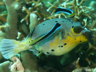 Bluestreak Cleaner Wrasse - <em>Labroides dimidiatus</em> - Gemeiner Putzerfisch
