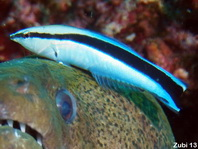 Blackspot Cleaner Wrasse - Labroides pectoralis - Brustfleck-Putzerfisch