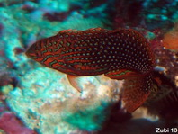 Leopard Wrasse - Macropharyngodon meleagris - Panther-Lippfisch