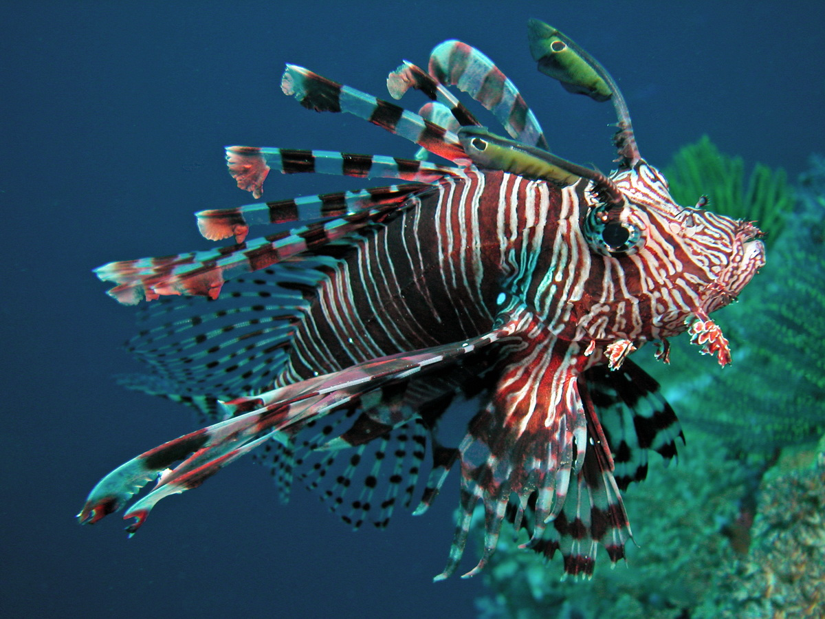 https://starfish.ch/photos/fishes-Fische/scorpionfishes-Skorpionfische/Pterois-volitans3.jpg