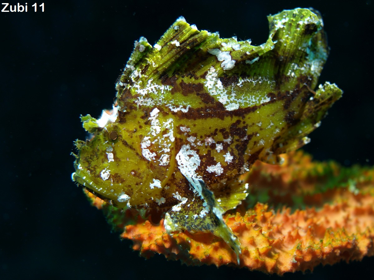 leaf scorpionfish - photo #17